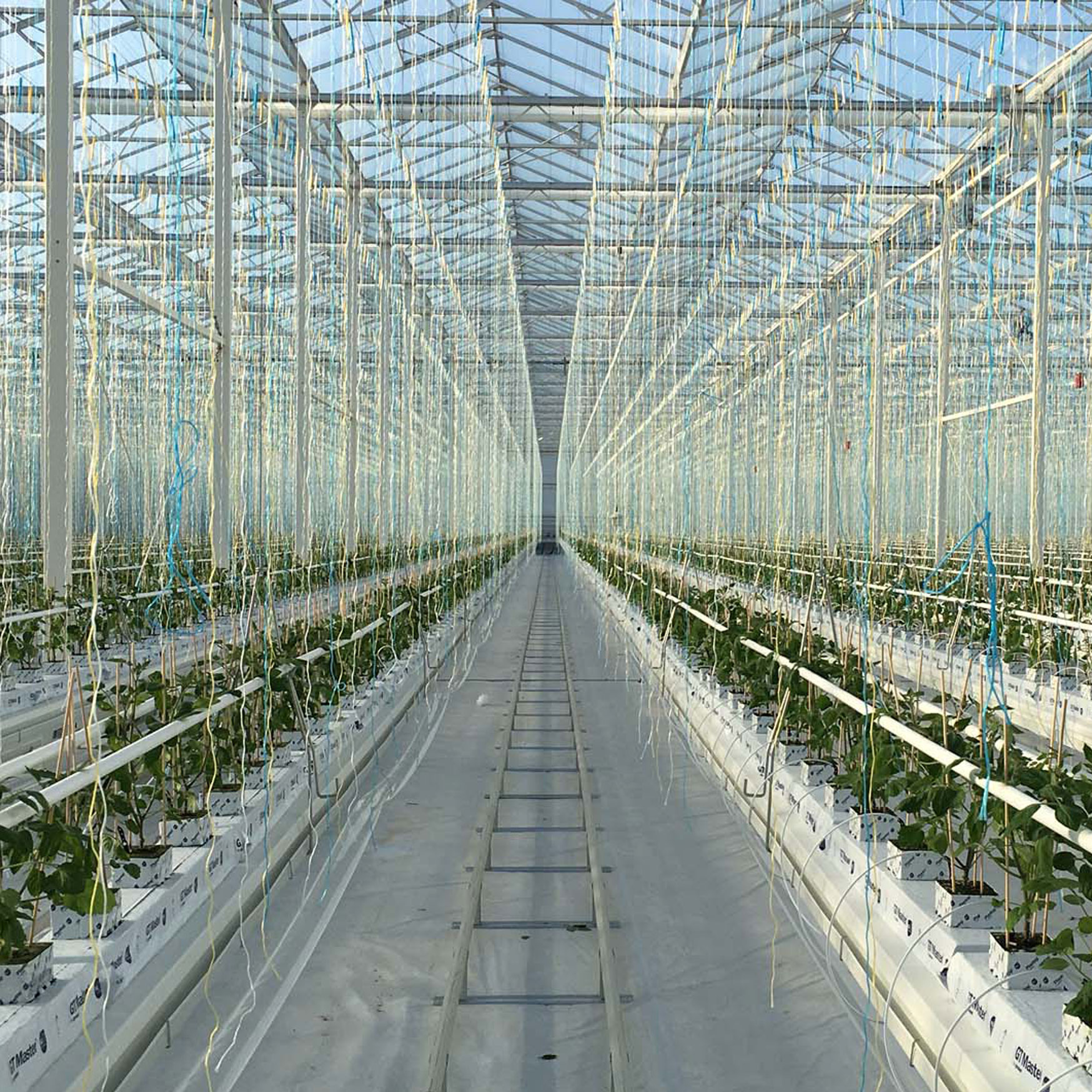 Thanet Earth, commercial hydroponics, factory farming