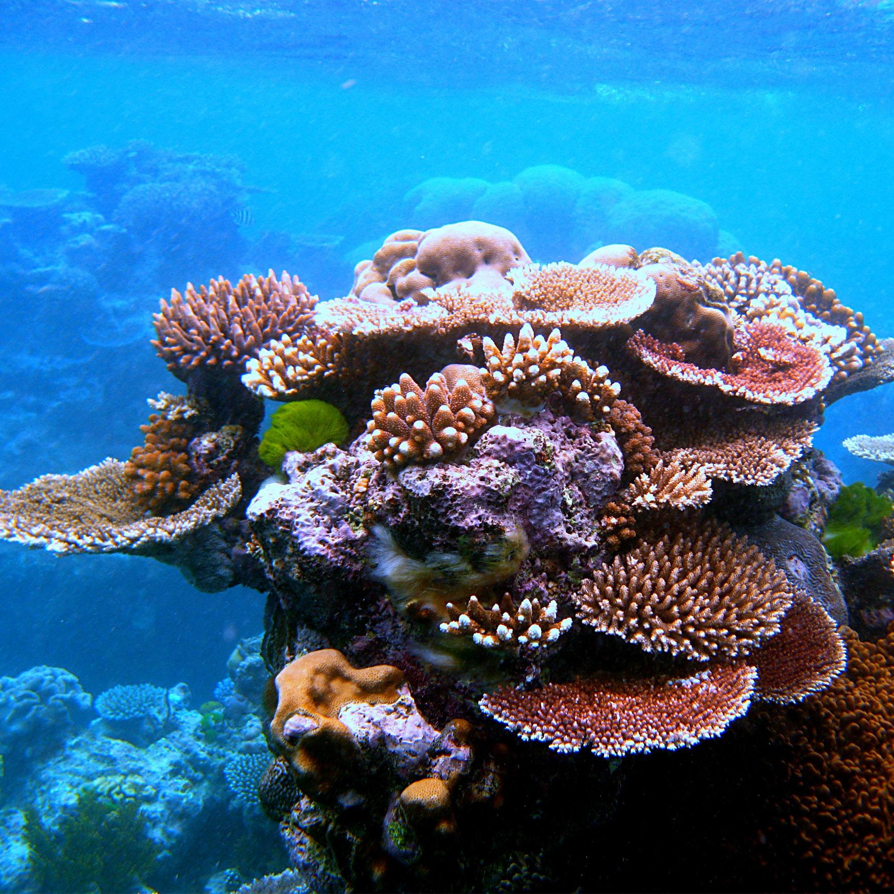 Coral Gardening, Coral farming